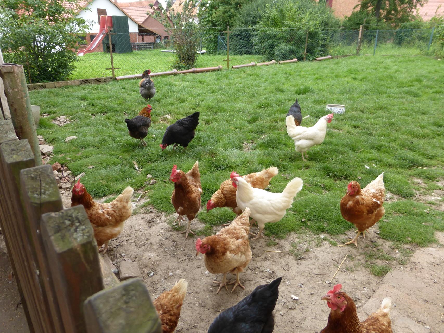 Schnell haben sich ein paar Hühner Orpi angeschlossen und himmeln ihn an.