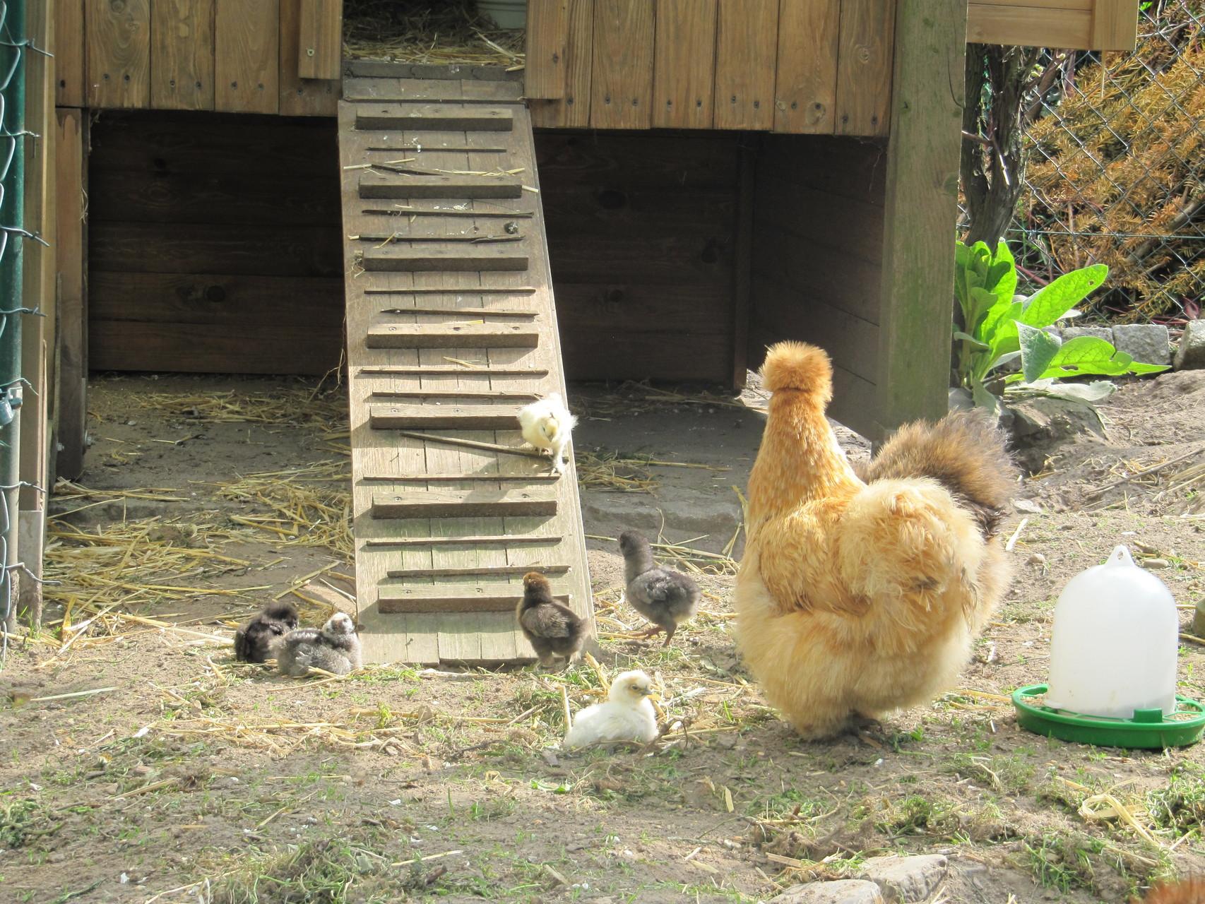 Geschafft, das letzte Küken ist draußen. Bald dürfen sie auch in den großen Garten.