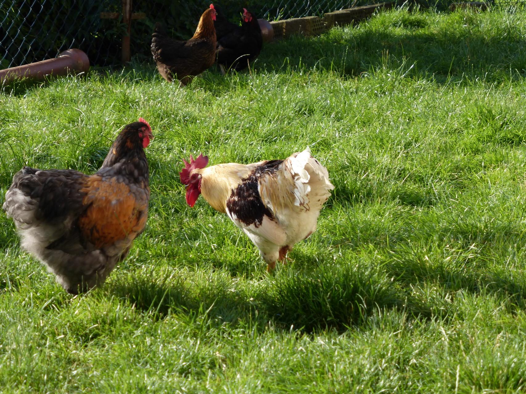 Orpi kommt auf einen Bauernhof. Erster Kontakt mit dem jungen Hahn.
