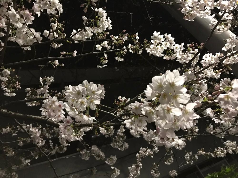 川崎の桜は一分咲き