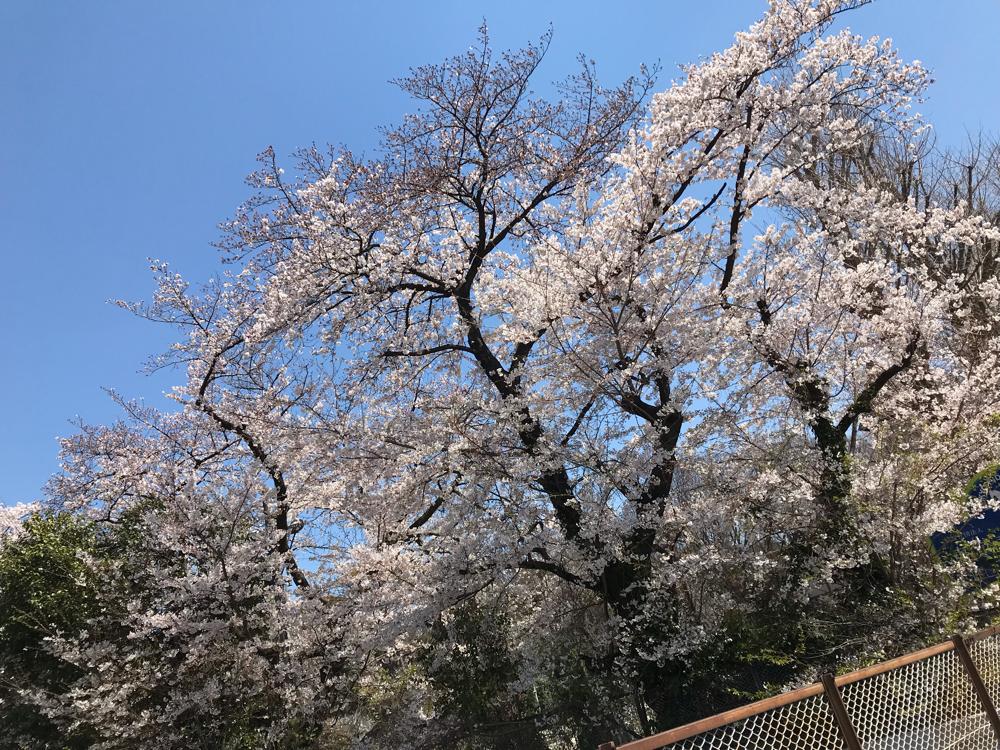 明治神宮の西門外の桜