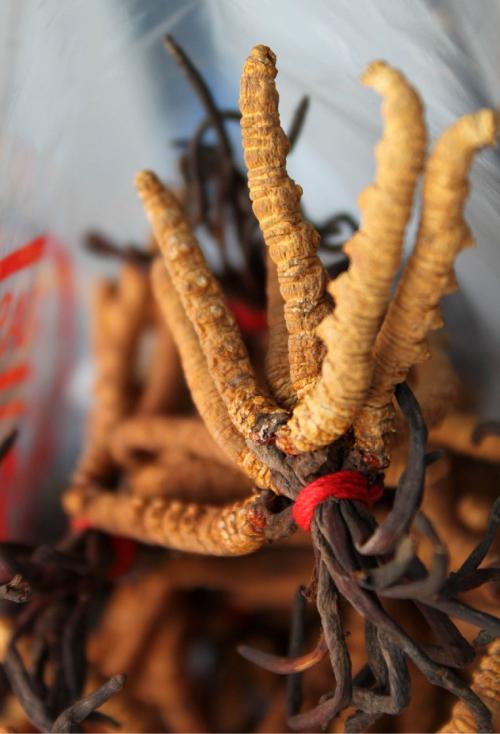 冬虫夏草,キノコと薬草の滋養サプリメント,蓬と明日葉サプリ,ffwellness,フォーエヴァー株式会社