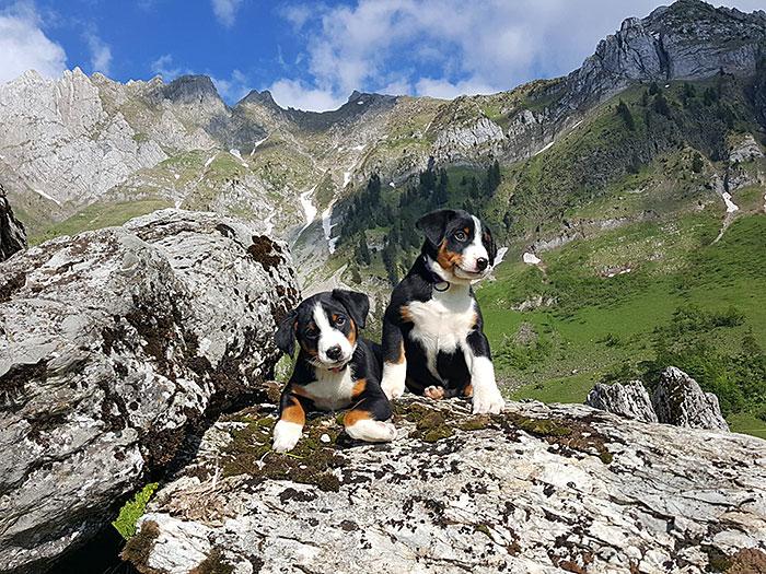 Uf dä Alpe obe isch ä herrlichs Läbe: Peggys Welpen vor dem eindrücklichen Bergpanorama.