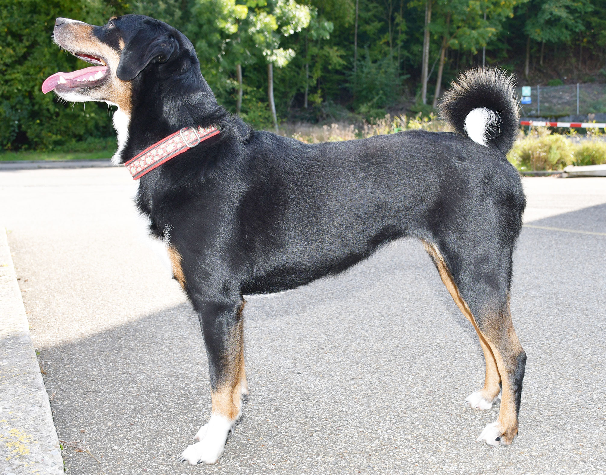 Hund, stehend, von der Seite aufgenommen, von beiden Seiten. Die Rute darf aufgerollt getragen werden.