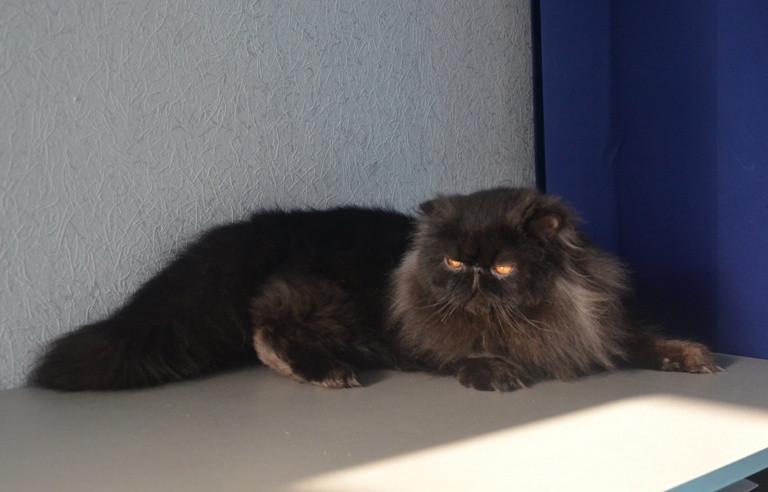 выставочный груминг персидской кошки