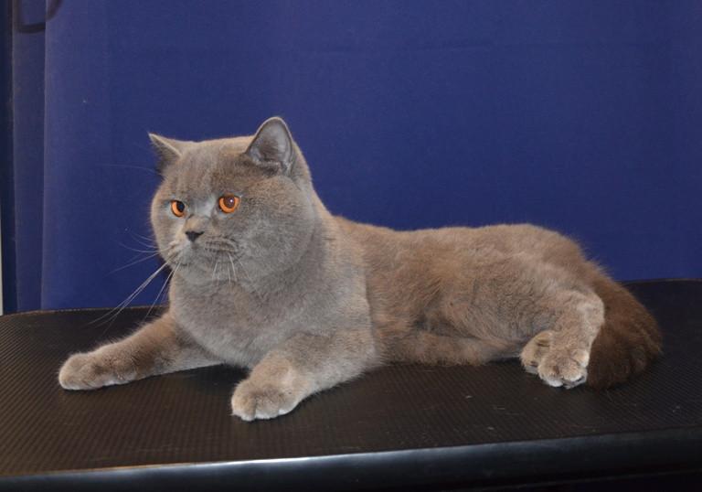 подготовка к выставке британской короткошерстной кошки