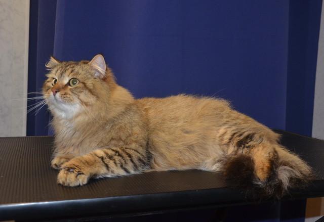 выставочный груминг сибирской кошки