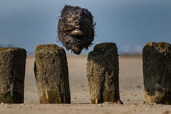 Foto: Springender Hund im Hundeurlaub an der Nordsee vor Sylt