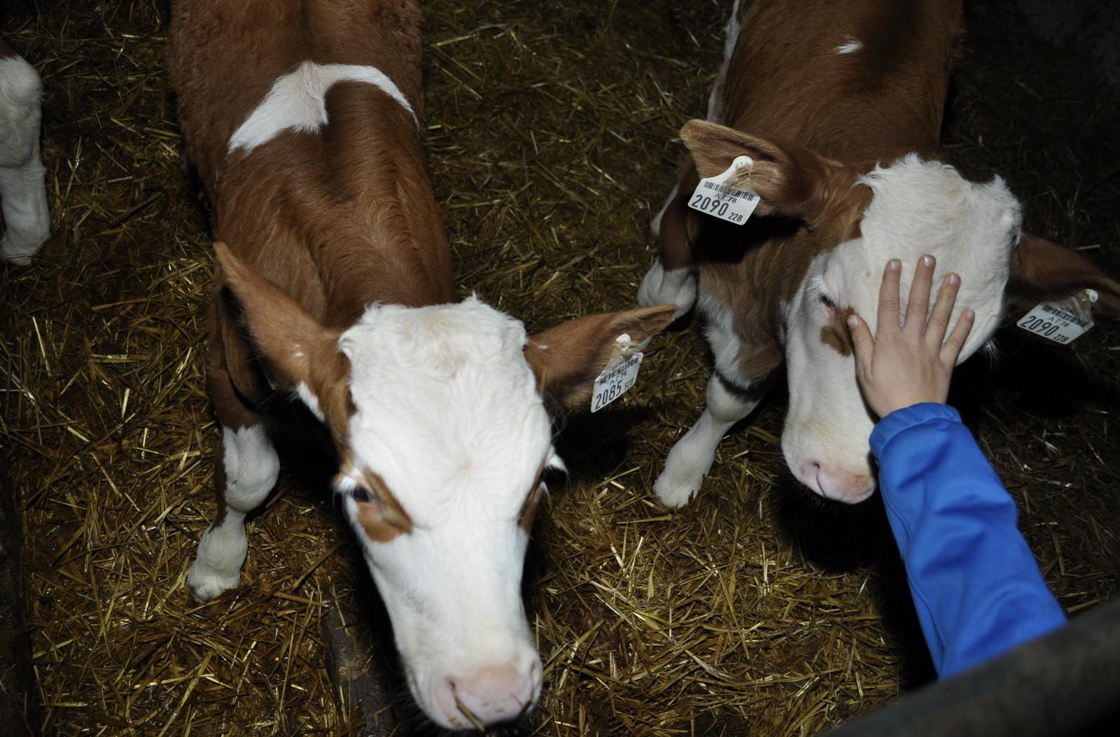 Streicheleinheiten für die Babykühe