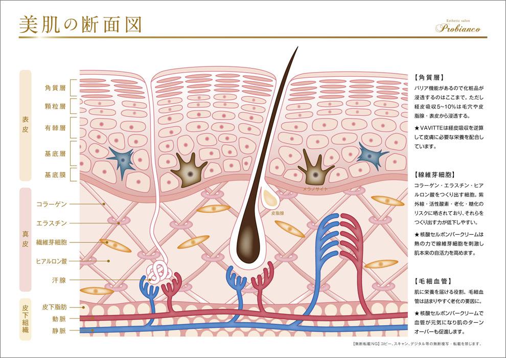 美肌の断面図_エステサロン_プロビアンコ_表皮_真皮_皮下組織のイラスト