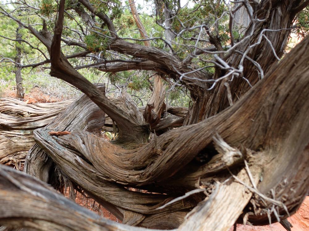 セドナのエネルギーにぐるぐる成長した木