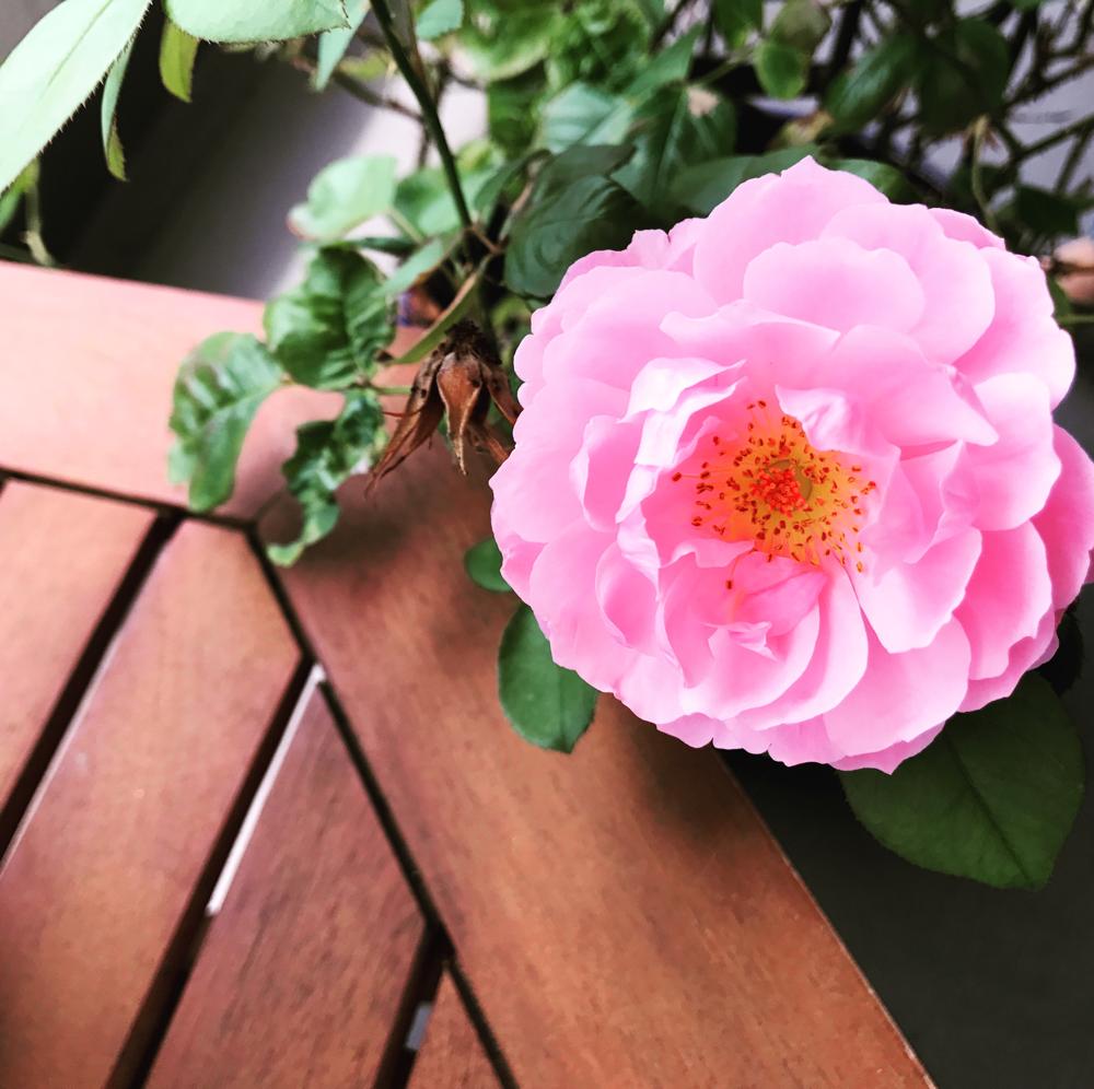 ブログに関係ないけど我が家の薔薇が咲き始めました♡