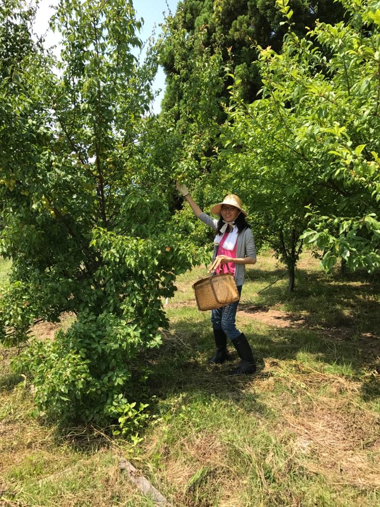 能登のリトリートハウス予定地にて梅の収穫しました。