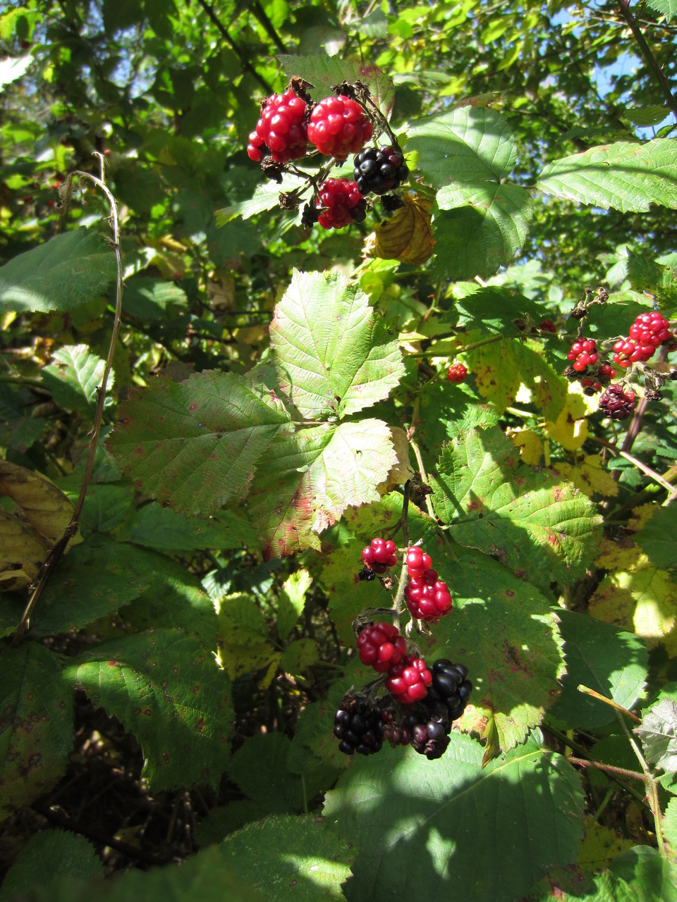Brombeere Rubus fruticosus