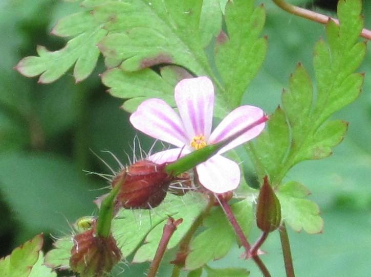 Stink-Storchenschnabel Geranium robertianum