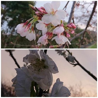 自宅前にある公園の桜と桃の花です♪