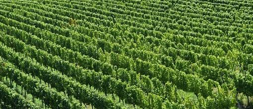 Réussite d'une plantation d'une vigne par lys charrier