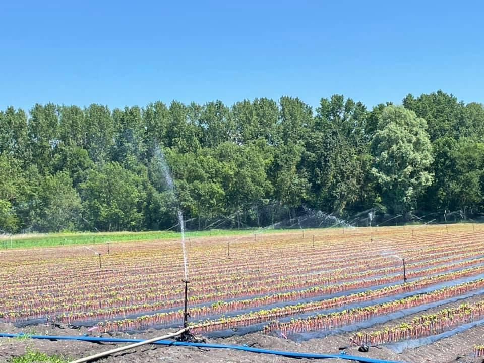 L'irrigation de la pépinière