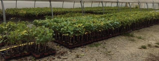 Serre de forçage pour le stockage des plants en pot chez lys charrier