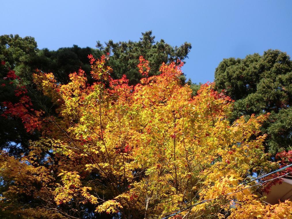庭の楓が色づきました