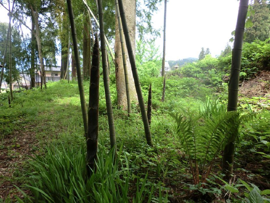 庭先のタケノコが成長しました