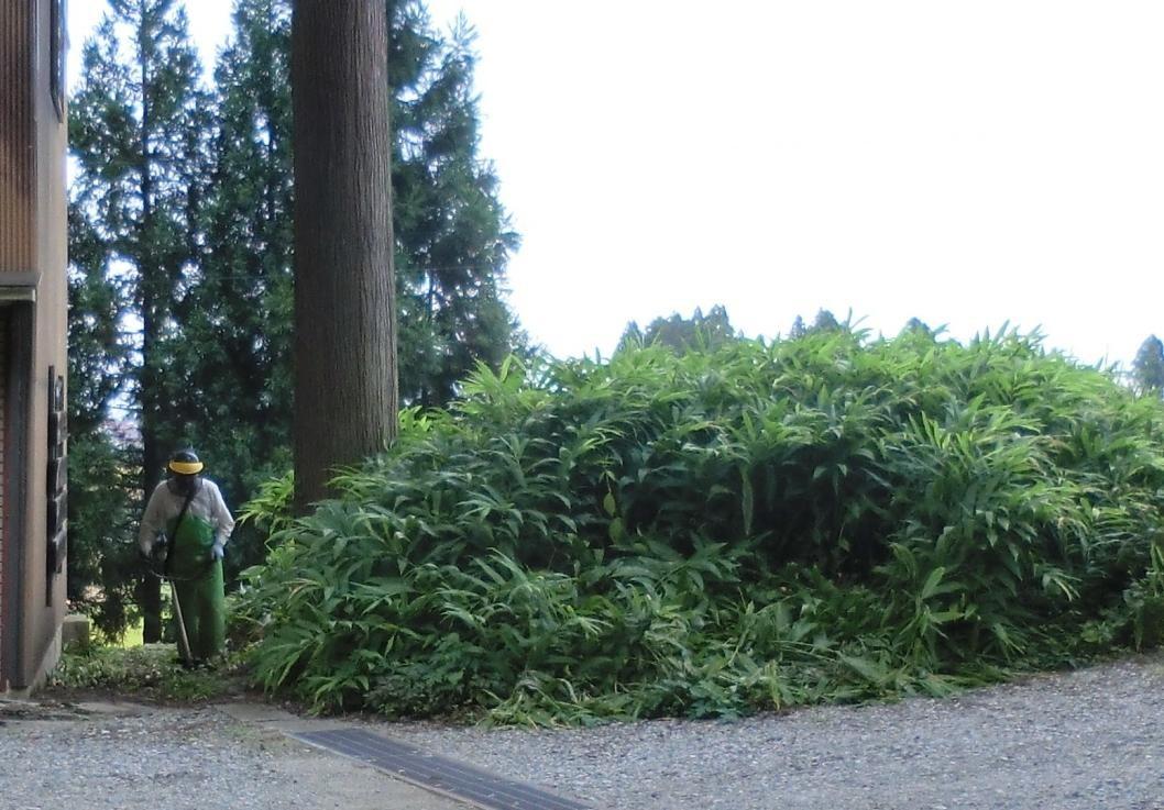 庭先のミョウガの群生