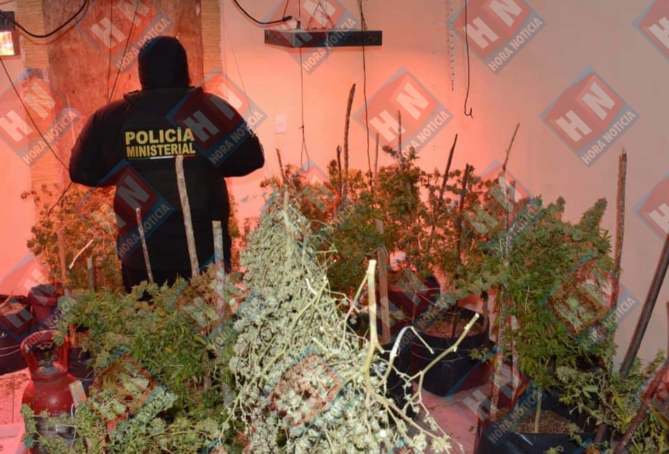 Cientos de plantas de Cannabis fueron decomisadas.