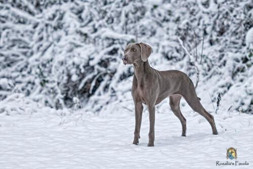 Junger Weimaraner steht im Schnee