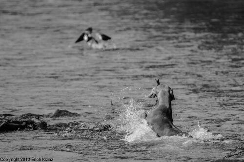 Weimaraner schwimmt Ente hinterher