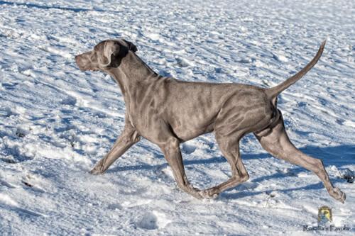 Ein Weimaraner trabt durch den Schnee
