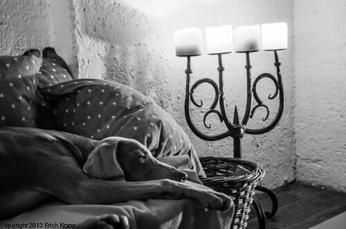Ein Weimaraner schläft am Sofa