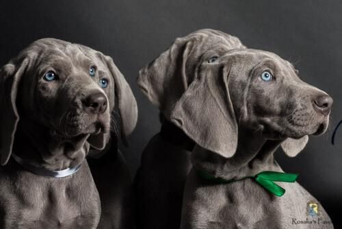 Vier Weimaranerwelpen mit blauen Augen