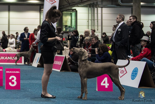 Weimaraner auf der World Dog Show in Leipzig