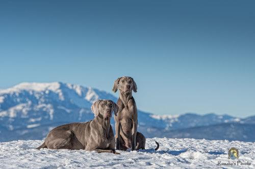 Zwei Weimaraner im Schnee