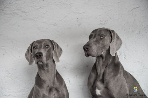 Ein Portrait von zwei Weimaranern