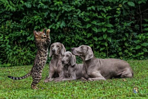 Drei Weimaraner beobachten die Kunststücke einer Katze