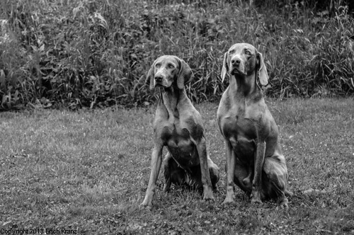 Zwei Weimaraner sitzen im Gras