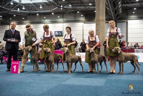 Vier Weimaraner auf der World Dog Show in Leipzig