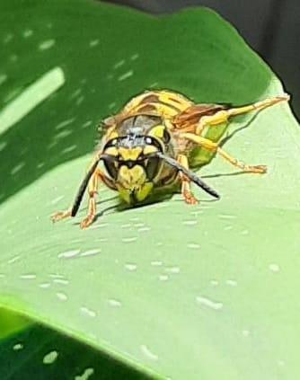 die Wespen sind fleißig beim Nester bauen