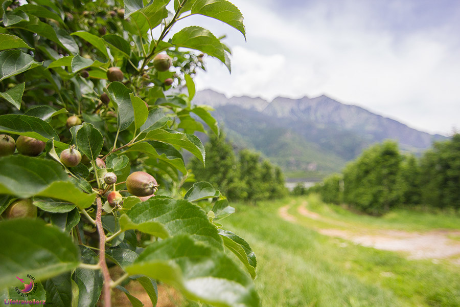 Apfelbäume in Südtirol