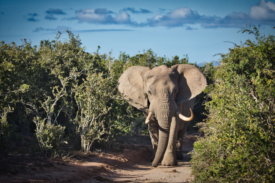 Elefant im Kariega Private Game Reserve in Südafrika