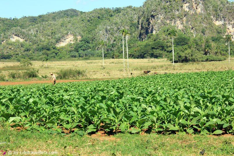 Tabakplantagen Vinales-Kuba