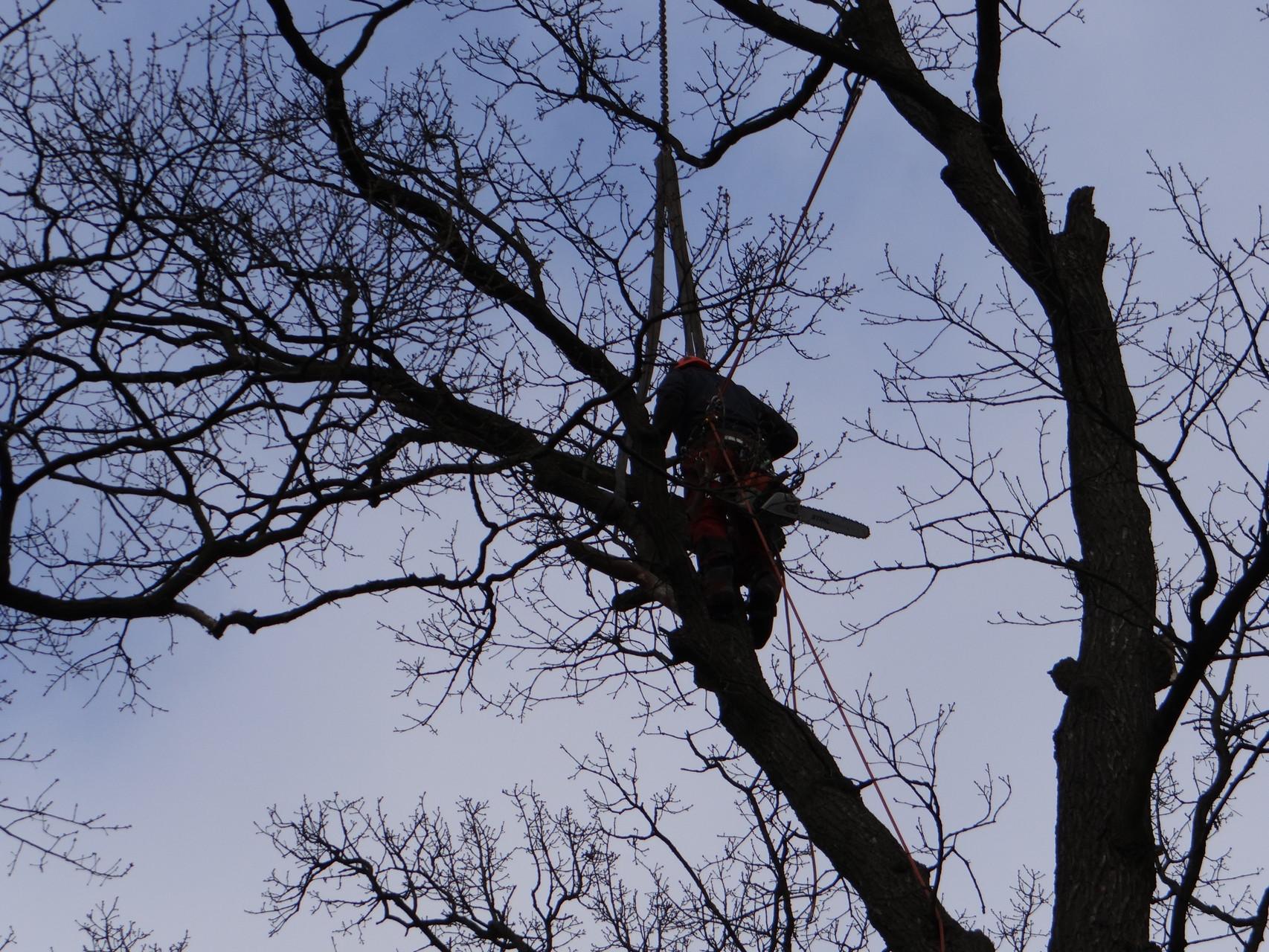 Komplizierte Baumfällung in Brandenburg