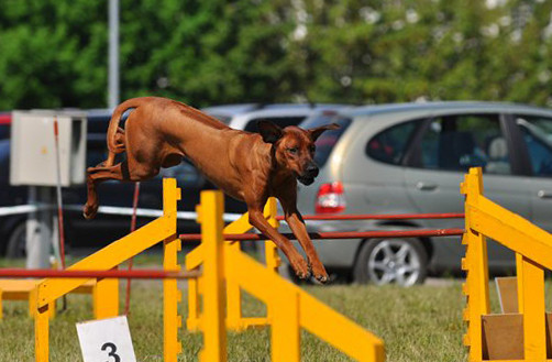 "Aresvuma Jeron Jango ""Rodger"" participating in agility, own. N.Loginova"