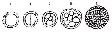 2. zīmējums: Šūnu dalīšanās sākumposmos A: Apaugļotas olšūnas viena šūna B: 2 šūnu posms. C: 4 šūnu posms. D: 8 šūnu posms. E: Daudzšūnu sfēriskā masa, vēlāka šūnu dalīšanās