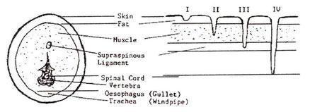 4. zīmējums: Suņa kakla šķērsgriezuma shematisks attēlojums