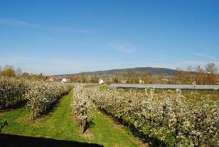 Apfelblüte Bodensee Rueß Obsthof Oberteuringen