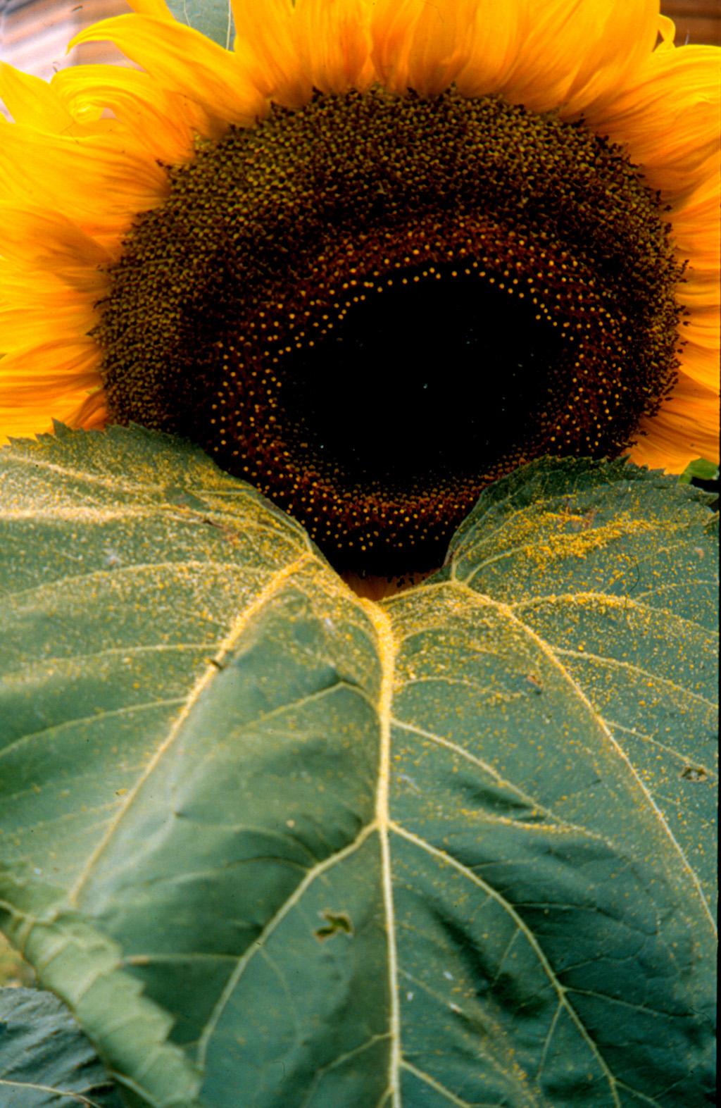 Sonnenblumenschlund