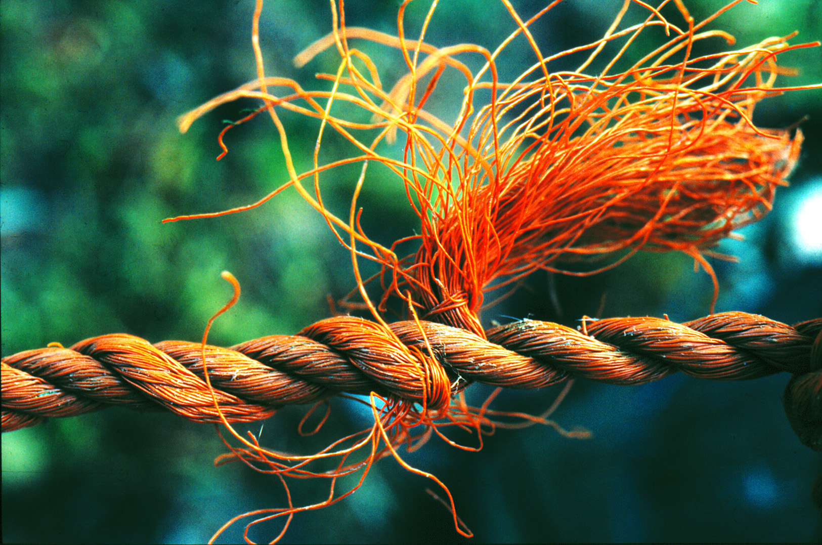 der goldene Knoten