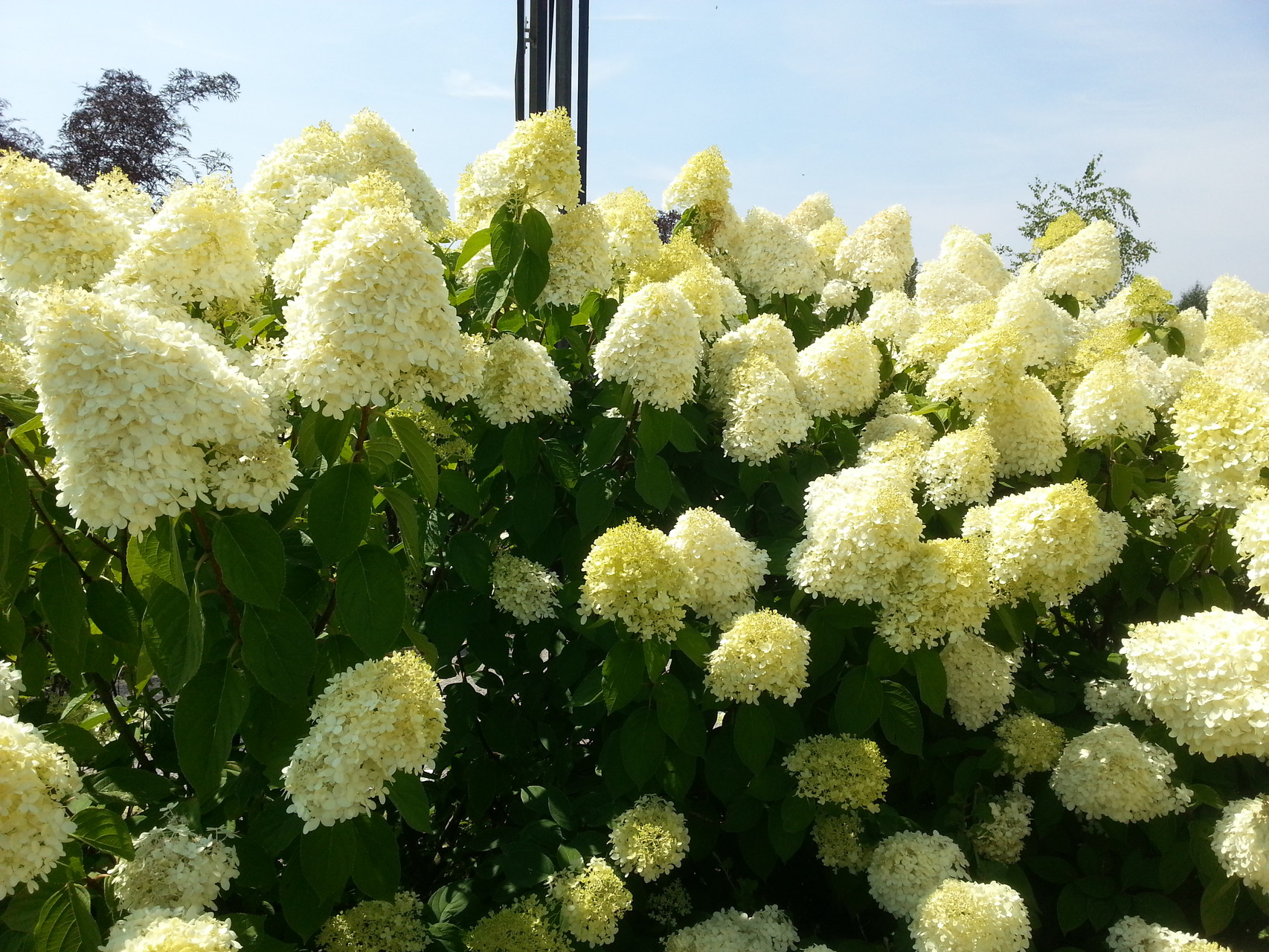 hydrangea paniculata 39 limelight 39 rispenhortensie. Black Bedroom Furniture Sets. Home Design Ideas